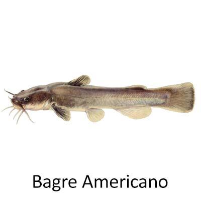 Bagre Americano - Cópia