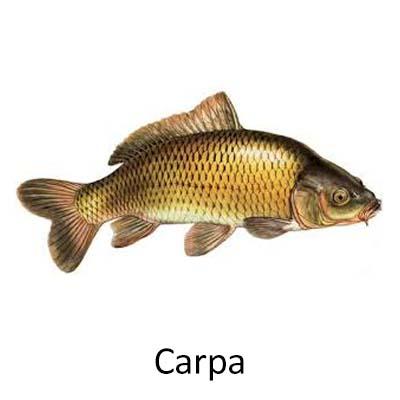 Carpa - Cópia
