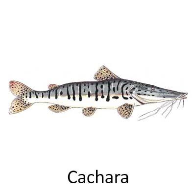 Cchara - Cópia