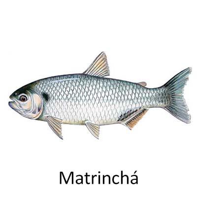 Matrinxã - Cópia
