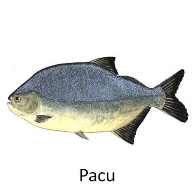Pacu - Cópia