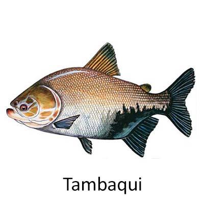 Tambaqui - Cópia