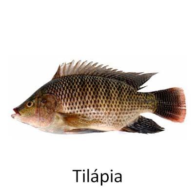 Tilápia - Cópia